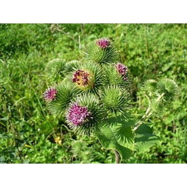 Burdock Root Seeds Burdock Root Powder