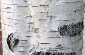 BioComplete Birch Bark Powder